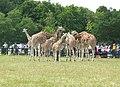 Knuthenborg Safaripark - spisende giraffer.jpg