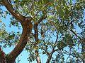 Koala, Fort walk, Magnetic Island 2.jpg
