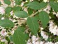 Kolkwitzia amabilis in Jardin des Plantes of Paris 07.jpg
