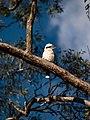 Kookaburra , Brisbane.jpg
