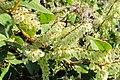 Korina 2011-09-30 Fallopia japonica 1.jpg