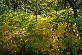 Korina 2013-10-19 Fallopia japonica.jpg