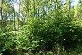 Korina 2014-06-06 Prunus serotina 1.jpg