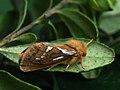 Korscheltellus lupulina - Common swift - Тонкопряд волчий (40993941421).jpg