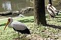 Kuala Lumpur Bird Park, Mycterias.jpg
