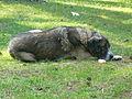 Kunduz köpeği.JPG