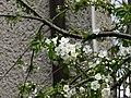 Kwitnąca czereśnia - panoramio (1).jpg
