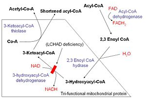Beta oxidation - Schematic demonstrating mitochondrial fatty acid beta-oxidation and effects of long-chain 3-hydroxyacyl-coenzyme A dehydrogenase deficiency, LCHAD deficiency