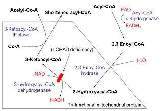 Beta oxidation Process of fatty acid breakdown