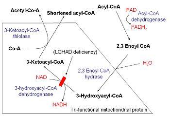Energy yield from fatty acid oxidation