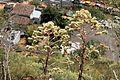 La Palma - Santa Cruz - Molinos de Bellido + Aeonium 02 ies.jpg
