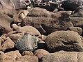 La côte de granit rose à Trégastel - 062.JPG