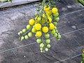 La palma-cherry amarillo en la planta.JPG