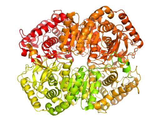 Lactate Dehydrogenase B