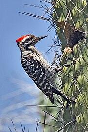 180px-Ladder-back_Woodpecker_on_Cactus.j