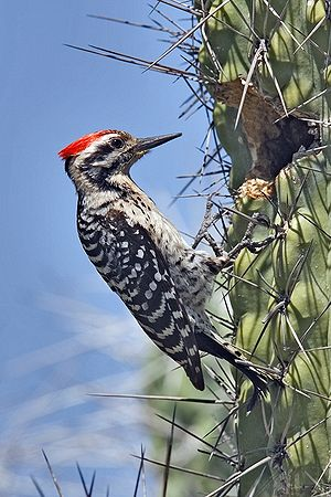 Woodpecker - Use of cacti for breeding and roosting holes allows some woodpeckers to live in treeless deserts, like the ladder-backed woodpecker which uses cacti for nesting.