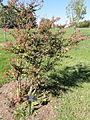 Lagerstroemia indica - University of Kentucky Arboretum - DSC09320.JPG