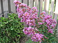Lagerstroemia indica crape myrtle flowers.JPG