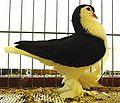 Lahore Pigeon schwarz