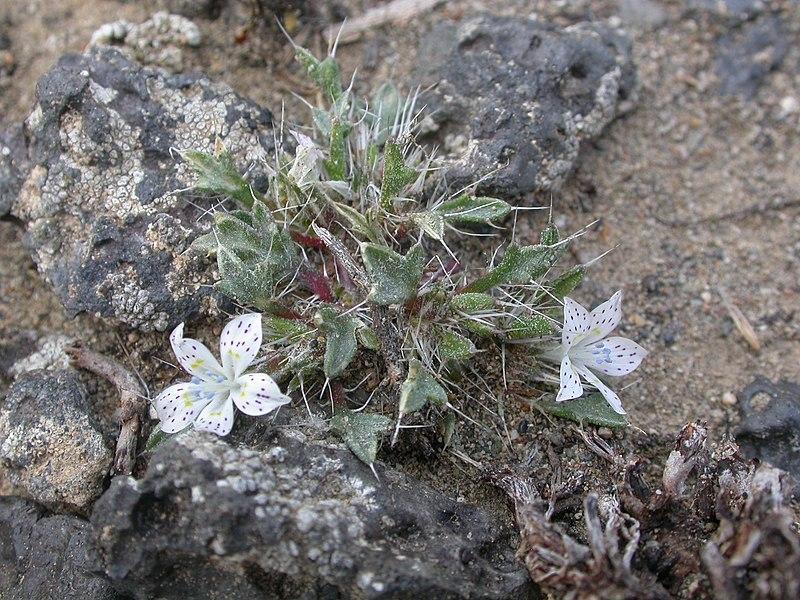File:Langlosia punctata (3702724107).jpg