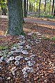 Large quantities of Clitocybe nebularis, Syn Lepista nebularis (GB= Clouded Funnel, Syn. Clouded Agaric, D= Nebelgrauer Trichterling, Syn. Nebelkappe, F= Clitocybe nébuleux, NL= Nevelzwam), white spores, at the parking - panoramio.jpg