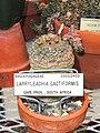 Larryleachia cactiformis - University of California Botanical Garden - DSC08861.JPG
