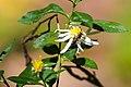 Lasioglossum sp. (37390555294).jpg