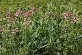 Lathyrus heterophyllus (Platterbse) IMG 28680.JPG