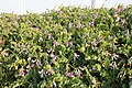 Lathyrus japonicus 05.jpg