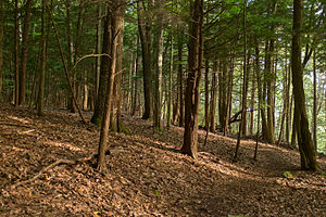 Laurel Hill State Park - Second growth trees on the Hemlock trail