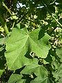 Lavatera arborea 'Tree Mallow' (Malvaceae) leaf.JPG