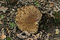 Leccinum griseum (36814225781).jpg