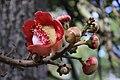 Lecythidaceae - Couroupita guianensis Aubl.jpg