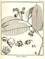 Lecythis lutea Aublet 1775 pl 289.jpg