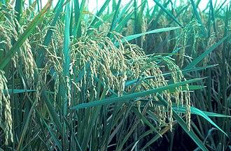Kiamba, Sarangani - Rice, the foremost income producer.