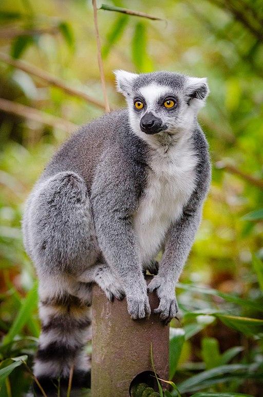 Lemur (31656235231)