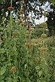 Leonotis nepetifolia (Deepmal) in Narshapur, AP W IMG 1166.jpg