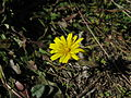 Leontodon saxatilis flowerhead5 (14652747023).jpg