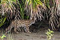 Leopard Cat in Sundarban.jpg