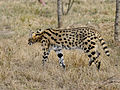 Leptailurus serval.jpg
