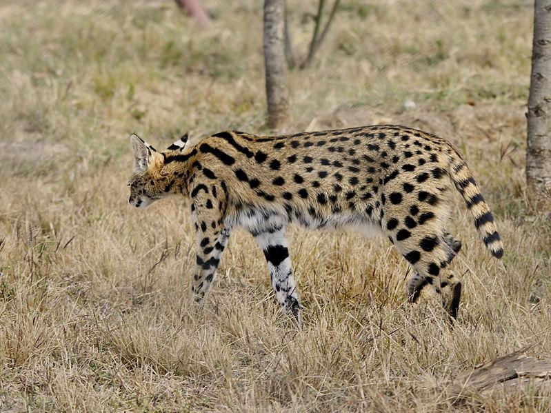 File:Leptailurus serval.jpg
