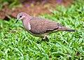Leptotila verreauxi -near Rancho Naturalista, Cordillera de Talamanca, Costa Rica-8.jpg