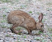 Lepus brachyurus eating grass.JPG