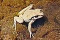 Lesueurs Frog06.jpg