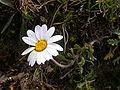 Leucanthemopsis alpina1.JPG