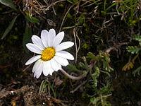 Leucanthemopsis alpina1