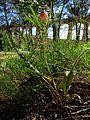 Leuzea conifera (8745395376).jpg
