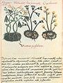 Libellus de medicinalibus Indorum herbis f. 56v.jpg