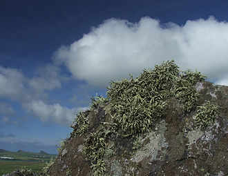 Algae - Rock lichens in Ireland