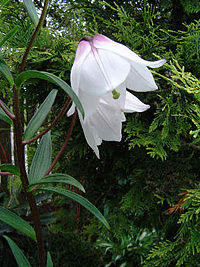 Lilium mackliniae